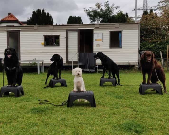 Trainen van de honden met het commando op en blijf