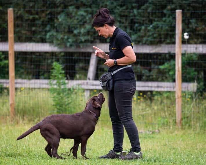 Een labrador hond krijgt een zit training bij Hondenschool Kim